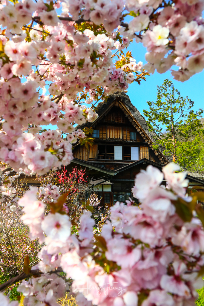 SAKURA JAPAN AT SIRAKAWAGO VILLAGE